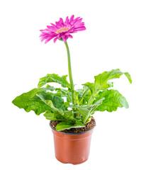 beautiful blooming pink flower gerbera in flowerpot is isolated
