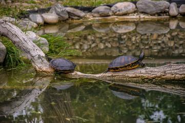 Turtles in Hirschstetten Botanical Gardens, Vienna