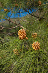 Pinus canariensi, Canarian Pine