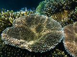 Acropora millepora coral poster