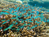 Green Chromis over Acropora coral head poster