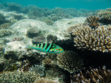 School of Green Chromis over Acropora coral head, Fiji poster