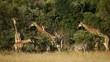 Giraffes and zebras in natural habitat