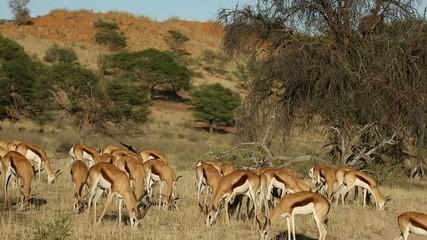Herd of springbok antelope grazing in  Kalahari desert landscape