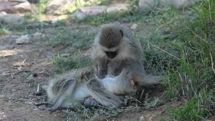 Vervet monkey grooming another