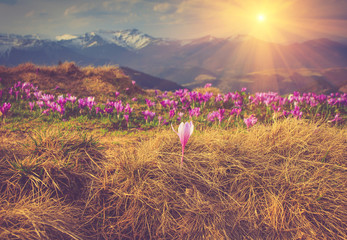 Spring flowers crocus on the background of mountains.