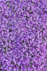 Blooming purple carnation