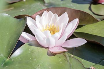 Fior di loto japan