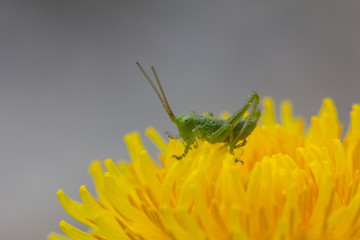 Grasshopper On Dandelion Closeup