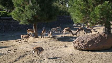 A herd of gazelle, feeding
