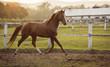 Obrazy na płótnie, fototapety, zdjęcia, fotoobrazy drukowane : Horse in a stable running and joying at sunset