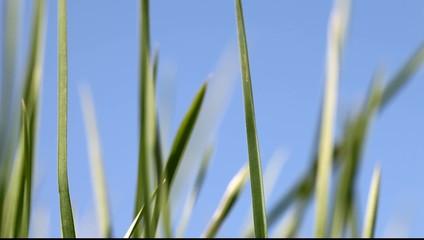 Growing of green grass.