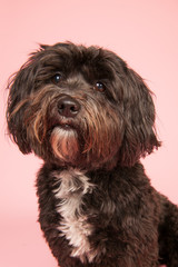 Tibetan terrier on pink background