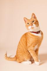 Red cat on beige background