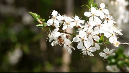Bee working on plum flowers.