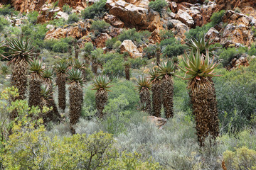 Rocky redish mountains and cactus in Swartberg pass,