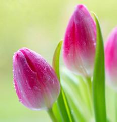 Spring tulip flowers.