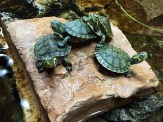 tartaruga tartarughe