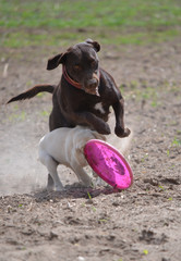 Mommy dog with wer puppy play with frisbee