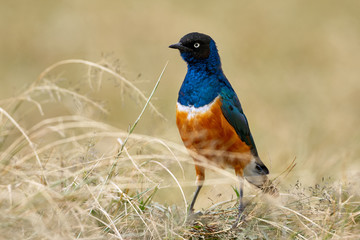 Superb starling, African and colored bird