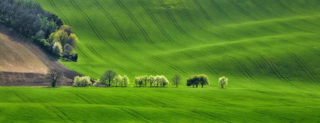 panorama of field waves with blossoming trees