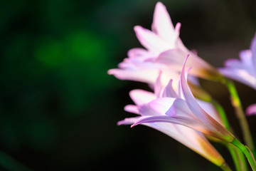 Rain Lily flowers