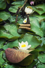 Beautiful blooming water lilies in the garden