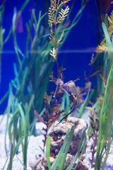 horsefish
