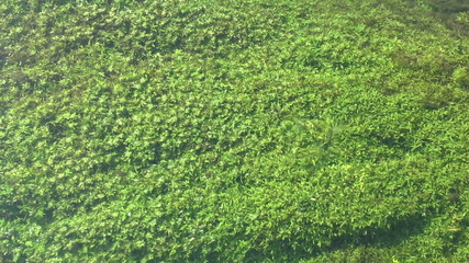 Clear stream flowing over green water weed