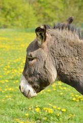 grey Donkey Head in Summer