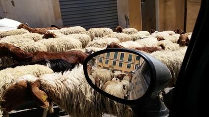 Pecore allo specchio