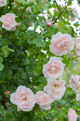 pink roses flowers in green grass in summer garden