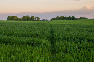 sunset light in green grass in summer field