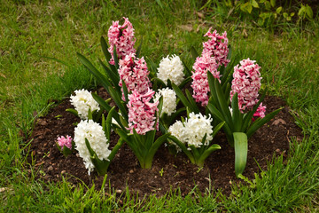 Colourful Hyacinth
