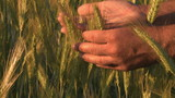 Farmer hand in wheat field