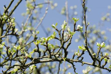 apple buds in spring