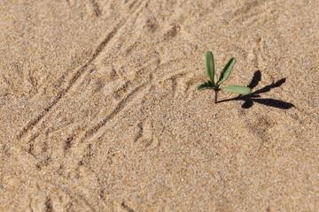 Germoglio sulle dune di sabbia