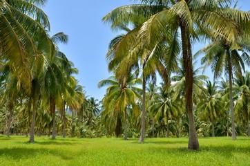 Кокосовые плантации в Тайланде. Coconut plantations in Thailand.