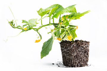 healthy development of cucumber plants soil