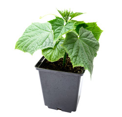 cucumber seedling in a pot isolated on a white background