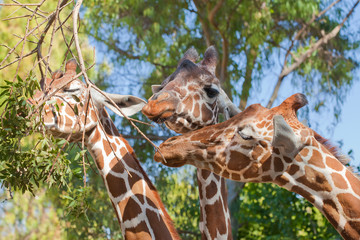 Three gracious giraffes