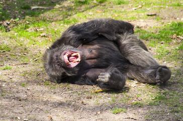 Chimpansee gilt van de pijn.