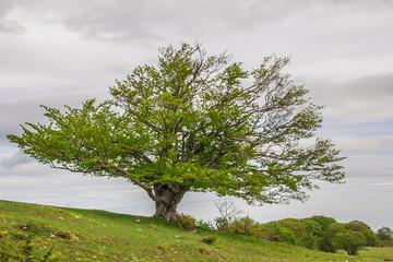 Immagine di un faggio in cima alla collina