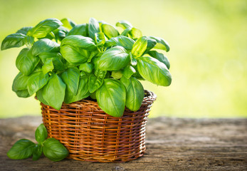 Organic basil plant in the basket on the wooden table