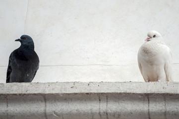 Piccione e colomba di colori diversi