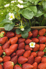 Fragrant strawberries