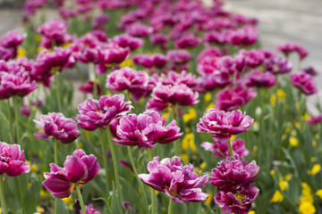 Spring blossom of pink tulips in park