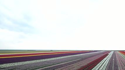tarımsal lale tarlaları