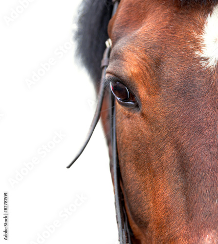 Bay horse close up on a white background.