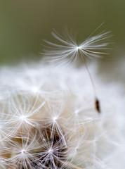 dandelion close up over natural background